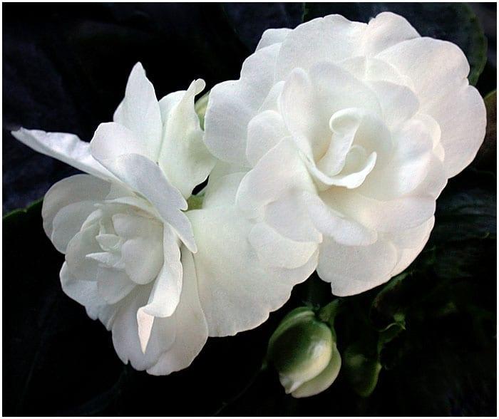 Begonias White